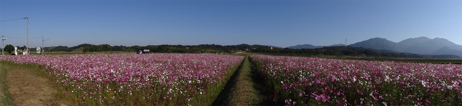 滋賀県蒲生郡日野町西大路のコスモス畑-グリム冒険の森周辺
