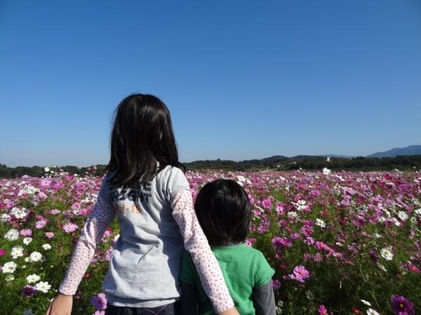 滋賀県蒲生郡日野町-コスモス畑
