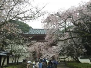 醍醐寺-桜-花見03