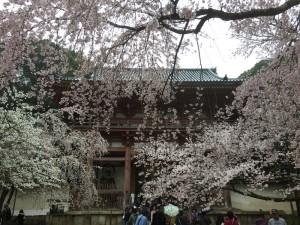 醍醐寺-桜-花見04