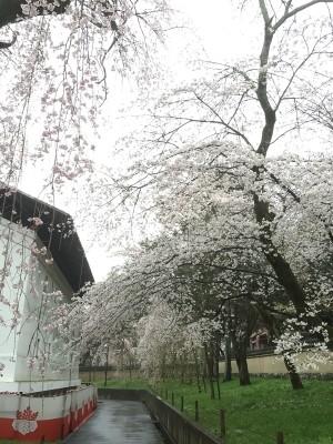 醍醐寺-桜-花見09