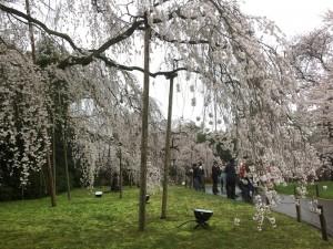 醍醐寺-桜-花見10