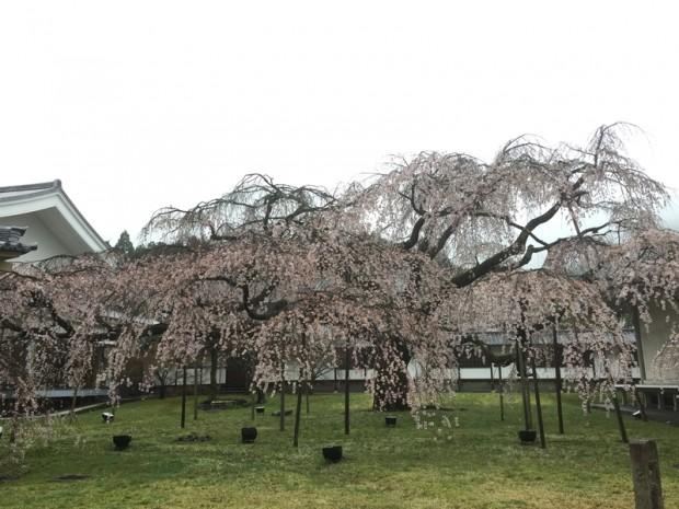 醍醐寺-桜-花見11