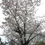 2015-04-04-1834-宇治-平等院-桜16