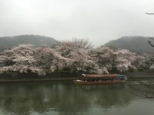 2015-04-01-1423-宇治-平等院-桜61