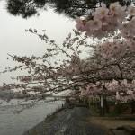 2015-04-01-1454-宇治-平等院-桜64